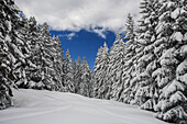 Snowy firs in wintertime, Orobie alps, Lombardy