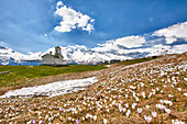 Magnificent glooming of Crocus Nivea flowers is a clear sign of the upcoming spring in the meadows of Andossi by the church of San Rocco, Alps, Spluga valley, Sondrio, Lombardy, Italy