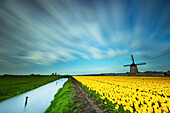 A field of yellow tulips with a windmill in the background. Everything has been taken with a long exposure, Holland