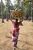 Goan woman carries collected coconut on a basket. The basket is made out of dried coconut tree-trunk.  The second major plantation crop in Goa is the coconut. Most families in Goan villages rear coconut trees. The other element of the coconut tree is that