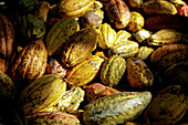 A pile of Cacao pods at the Monterosa plantation on March 27, 2009 in Choroni, Venezuela. Cacao is the raw ingredient used to make fine chocolates that are sold in Europe and the United States. The cacao from this region of Venezuela is so desirable that
