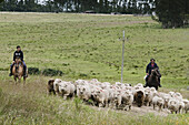 A man and his daughter with horses moving a group of sheep in Uruguay.