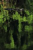 An alligator swimming at Everglades National Park, Florida.