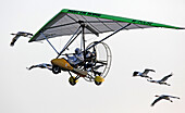 A group of Whooping Cranes fly behind an Ultralight operated by Operation Migration in the Necedah National Wildlife Refuge in Necedah, Wisconsin in September 2009. The ultralight will lead them to Florida during the fall migration.