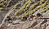 The mule train moves up the steep and narrow Relinchos Valley enroute to Plaza Argentina 4200-meters, base camp on Aconcagua 6962-meters, in the Andes of Argentina.   Our route took us on a traverse of the mountain from Plaza Argentina to Summit to Plaza