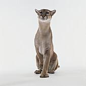 Florida panther Felis concolor coryii