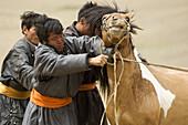 Gobi horsemen catch a stallion for saddling from a domestic herd in Gobi Gurvansaikhan National Park, Mongolia. Mongolians are reknowned horsemen, and horses remain the most important animal for Mongolians.