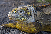 SOUTH PLAZA ISLAND, GALAPAGOS, ECUADOR - MARCH 2007: A land iguana gives the camera a sideways glance on South Plaza Island in the Galapagos. Driven to extinction in many parts of the Galapagos by wild dogs, feral cats and other invasive predators, land i