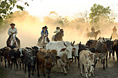 San Carlos, Panama - February 11: A cowboys round up calfs at a a lasso competition near Boquete, Panama, on February 11, 2007. In the competition, each heat features one town's team versus another in a tournament bracket style. The speed of the calf's ca