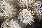 A detailed view, looking down on a cactus in the Mojave Desert, Nevada