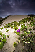 PISMO BEACH, CA - APRIL 14, 2007: Sand Verbena abronia villosa, grows abundant in the dunes at this protected state beach. photo by Ian Shive/Aurora
