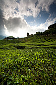 CAMERON HIGHLANDS, MALAYSIA - JUNE 25, 2007: Tea leaves are lined in rows at this tea plantation. Tea is a major source of income for the local economy with over 90% of tea in Malaysia being produced here. photo by Ian Shive/Aurora