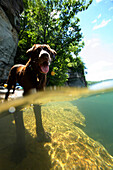 Half-in and half-out photo of Morgan - a chocolate labrador retriever - in the clear waters of Summersville Lake near Fayetteville, WV