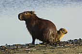 'A female capybara or ''carpincho'' hydrochaeris hydrochaeris, and two babies dry off in the sun after a swim in Laguna Parana, Estancia San Alonso, Esteros del Ibera, Corrientes, Argentina.  San Alonso, once a working ranch, is now a nature preserve that