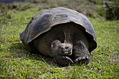 Isabella Island, Galapagos, Ecuador - February 2007: A giant tortoise takes a cat nap on the rim of Vulcan Alcedo Alcedo Volcano, on Isabella Island in the Galapagos. The island is known for its population of giant tortoises.