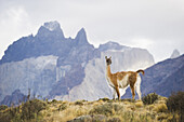 A guanaco looks out over the landscape on March 1, 2008 in Las Torres Del Paine National Park, Chile.
