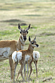 A female pronghorn antelope Antilocapra americana, and twin babies stand at alert in the grasslands of Wind Cave National Park, in the Black Hills of South Dakota