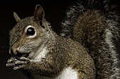 One of the main differences between squirrels and the rest of the rodent family is their large bushy tails.