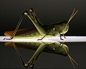 Obscure Bird Grasshopper Schistocerca obscura