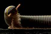 The Florida Ivory millipede Spirobolida: Spirobolidae, a class of arthropod is thought to be among the first animals to have colonized land during the Silurian geologic period. The millipede's most obvious feature is its large number of legs. contrary to