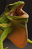 The Cuban Knight Anole Anolis equestris, is the largest anole in the world. It is native to Cuba, but has been introduced to South Florida. Growing to a length of 13 to 20 inches it is fiercely territorial and aggressive to anything that enters its territ