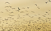 A large flock of sea gulls, pelicans, and other sea birds fly on the beach at the Guadalupe-Nipomo Dunes Preserve on July 12, 2008 in Guadalupe, California.