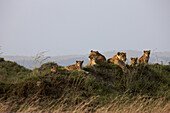 A family group of female Lions, Panthera Leo, with their cubs, is resting in the early morning sun. Masai Mara, Kenya, Africa.