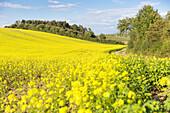 Canola field, Schorfheide-Chorin Biosphere Reserve, Gerswalde-Friedenfelde, Uckermark, Brandenburg, Germany