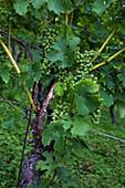Grapes on a vine in a vineyard near the Main river, Aschaffenburg, Franconia, Bavaria, Germany