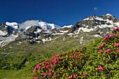 Alpine roses in front of Piz Cambrena and Piz Palue, Bernina, Upper Engadin, Engadin, Grisons, Switzerland
