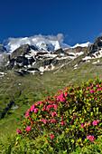 Alpine roses in front of Piz Palue, Bernina, Upper Engadin, Engadin, Grisons, Switzerland