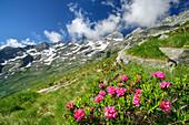 Alpine roses in front of Bergell range, Rifugio Omio, Sentiero Roma, Bergell range, Lombardy, Italy