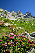 Alpine roses with granite mountains in background, Sentiero Roma, Bergell range, Lombardy, Italy