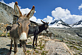 Donkeys standing in front of Rifugio Vittorio Emanuele II, La Tresenta in background, Gran Paradiso, Gran Paradiso Nationalpark, Graian Alps range, valley of Aosta, Aosta, Italy