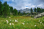 Moory meadow with cotton grass, Natural Park Mont Avic, Graian Alps range, valley of Aosta, Aosta, Italy