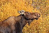 Moose (Alces alces) cow in profile, surrounded by golden autumn (fall) vegetation, Grand Teton National Park, Wyoming, United States of America, North America