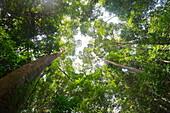 Tall dipterocarp trees in primary rainforest in the Maliau Basin Conservation Area, Sabah, Borneo, Malaysia, Southeast Asia, Asia
