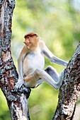Juvenile male proboscis monkey (Nasalis larvatus), Labuk Bay Proboscis Monkey Sanctuary, Sabah, Borneo, Malaysia, Southeast Asia, Asia