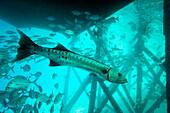 Great barracuda (Sphyraena barracuda) (giant barracuda) can grow up to 1.8 metres long, under pier, Celebes Sea, Sabah, Malaysia, Southeast Asia, Asia