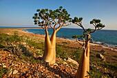 Rose of Desert (Adenium Obesum ssp. Sokotranum), Dihamri Beach, Socotra Island, Yemen, Middle East