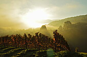 Vineyard landscape, near Buehlertal, Ortenau, Baden Wine Route, Baden-Wurttemberg, Germany, Europe