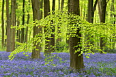 Bluebells (Hyacinthoides non-scripta) growing in a mature beech tree woodland in spring, West Woods, Wiltshire, England, United Kingdom, Europe