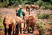 The David Sheldrick Elephant Orphanage takes in juvenile elephants (Loxodonta africana) orphaned by ivory poachers, Nairobi, Kenya, East Africa, Africa