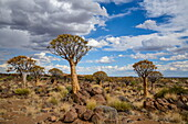 Quiver tree (kokerboom) (Aloe dichotoma) at the Quiver Tree Forest, Keetmanshoop, Namibia, Africa