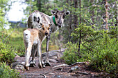 Reindeer and young animal, Oulanka National Park, Northern Ostrobothnia, Finland
