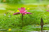 Aquatic plants and blossom in the Botanical Garden, Munich, Upper Bavaria, Bavaria, Germany