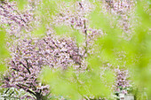 Cherry tree in full bloom, viewed through foliage