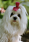 Maltese dog with bow on head