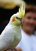 Parakeet,  person blurred in background.