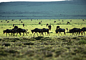 Africa, Tanzania, Blue Wildebeests (Connochaetes taurinus) on grassy plain